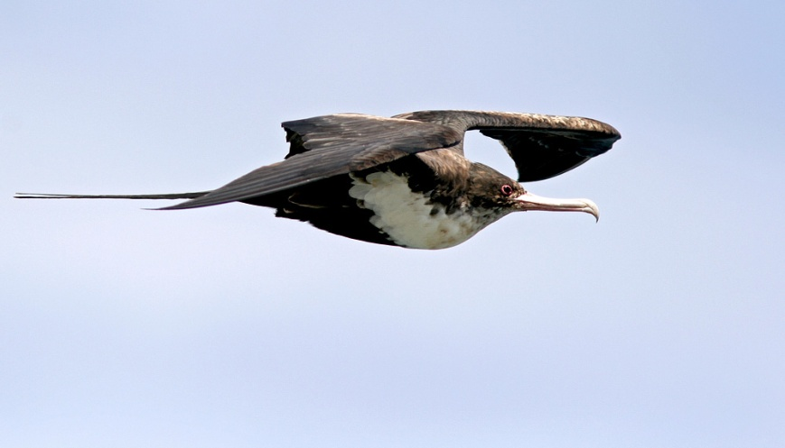 Great Frigatebirds, like this female, often flew in over the point seeming to check us out. Several times we saw them harass the other birds in attempt to steal food - as is their nature.