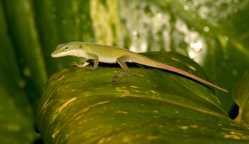 "While Green Anoles actually occur in several colours, I liked these ""typically"" green ones best."