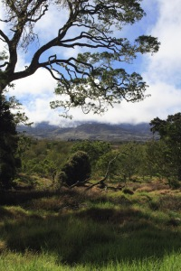 A view of Hakalau Forest, with a large Ohia Lehua looming in the foreground.