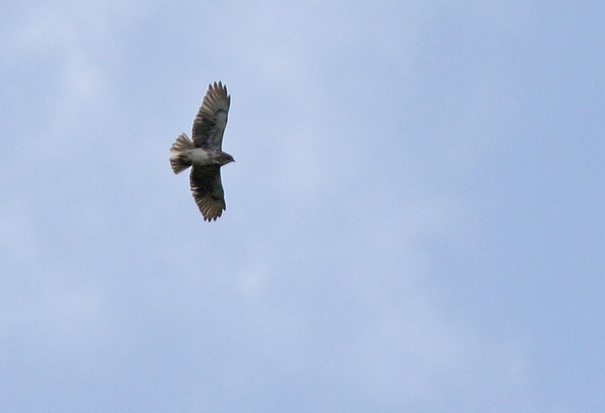 Two Hawaiian Hawks (an endemic species) soared high above us on the Puu Oo trail ... not exactly stunning photo opportunities, but great birds!