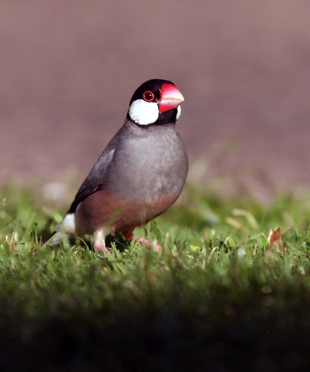Java Sparrows are common in the Kona area, with this one hanging out around the gardens and lawns of our hotel.
