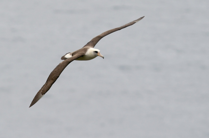 Laysan Albatross are one of the most recogniable seabirds in their world, with their sleek bodies and long wings.