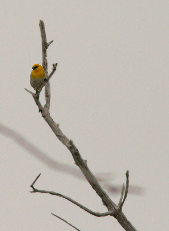 "The Palila is one of the most endangered birds in Hawaii, with its entire population living in an area on the western slopes of Mauna Kea that can be seen in one panoramic view from the Saddle Road. All the other ""grosbeak honeycreepers"" have already become extinct."