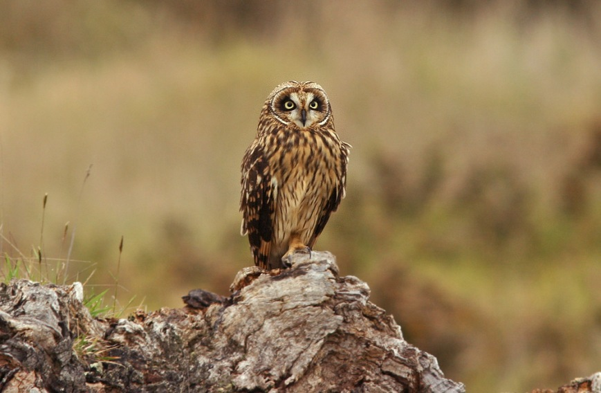 The Pueo is a native subspecies of Short-eared Owl. This one posed for looks on the eastern slopes of Mauna Kea.