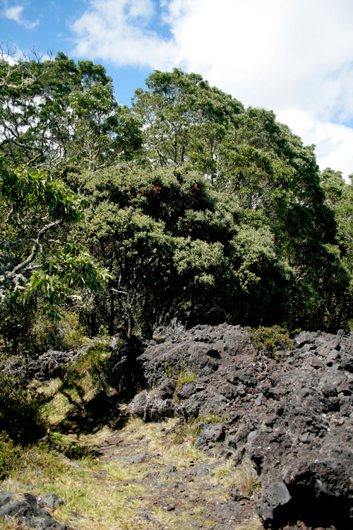 The edge a kipuka visited by the Puu Oo trail, where the old growth forest meets the barren lava flow.