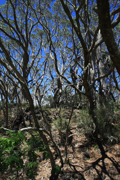 Koa trees, like these on the Puu Oo trail, are an important native tree on the Hawaiian islands. They are not only part of important ecological niches for threatened species like Akiapoloa'au and Hawaii Creeper, but it is also used in a lot of local woodcraft due to its beautiful grain.