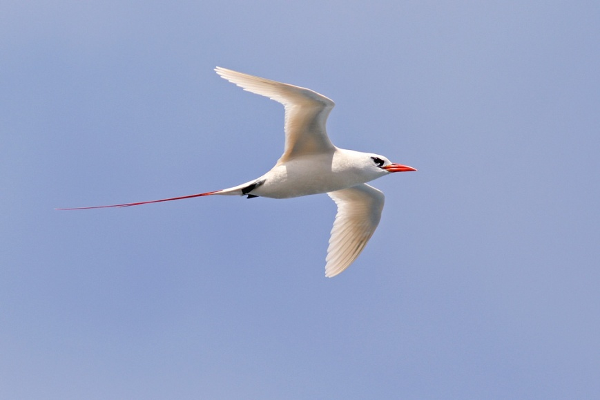 Redtailed Tropicbirds also nest on the cliffs at Kilauea Point, and were often seen floating by or engaging in their acrobatic courtships displays.