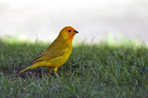 Saffron Finches, introduced from South America, add some extra colour to the Kona scenery.