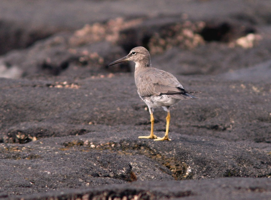 Wandering Tattlers are among the most common shorebirds in Hawaii - but still quite exciting for an east coaster like me!