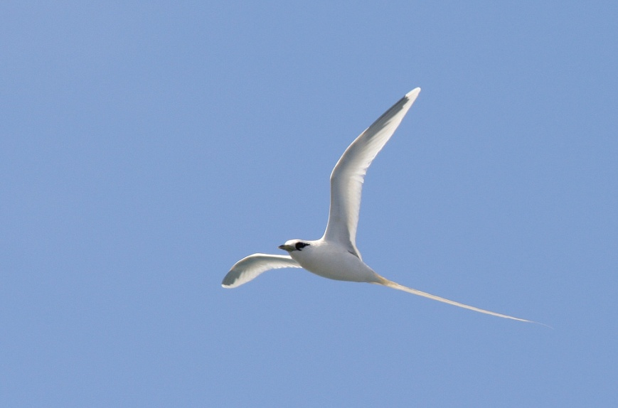 White-tailed Tropicbirds, on the other hand, tend to nest in the canyons further inland. However, a handful of individuals were seen during the day.