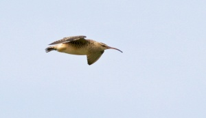 Bristle-thighed Curlew are difficult to see anywhere in North America, but winter at several locations in Hawaii. Great bird!!