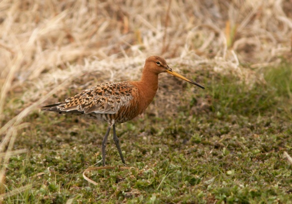 I was fortunate enough to see six Black-tailed Godwits in four far-flung locations during  the past few weeks - including two at Renews, two in St. Paul's Inlet, one in Goulds and this one at Old Perlican.