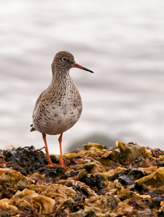 CommonRedshank_May32014_8700