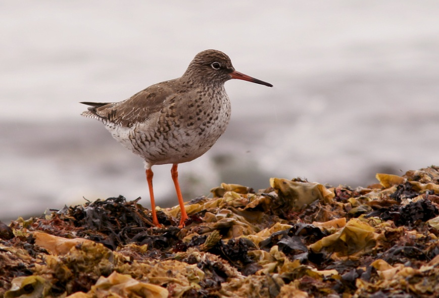 CommonRedshank_May32014_8716