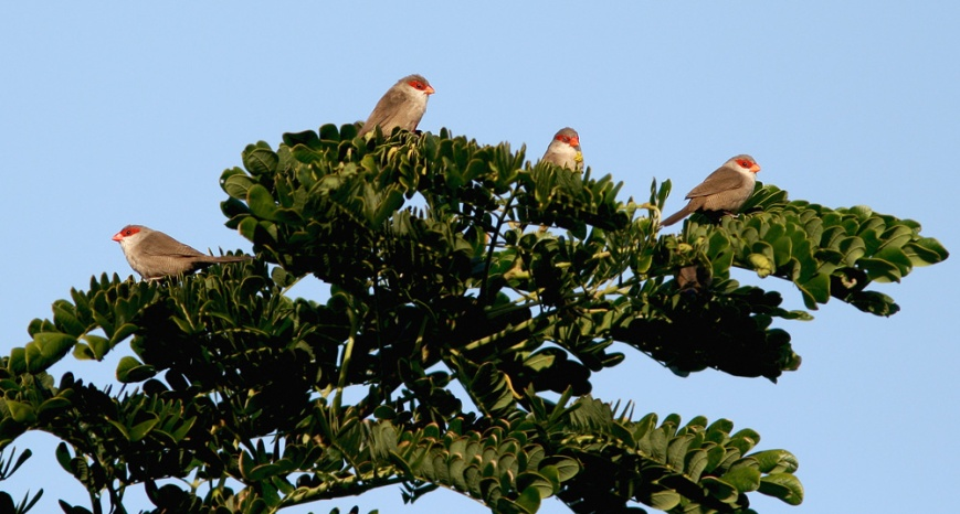A large flock of Common Waxbill were foraging in the centre of Kapiolani Park, offering by far the best views we had of this species in Hawaii.