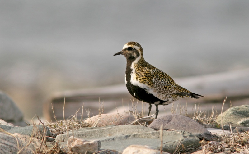 More than 300 European Golden Plovers were reported across Newfoundland in early May - a huge (though not quite record!) invasion of this nearly annual rarity.