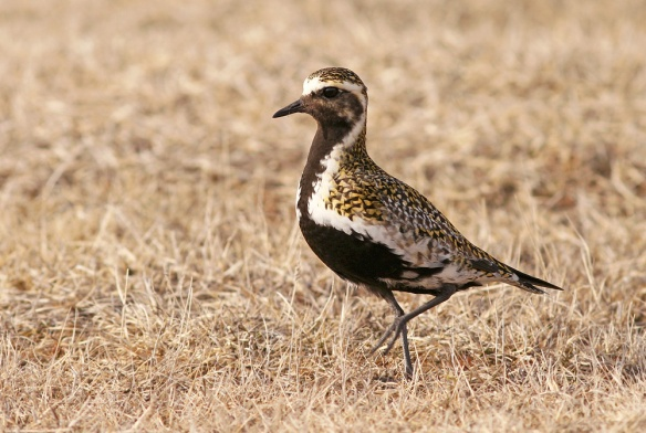 The breadth of the invasion was evident not only in the number of European Golden Plover reported in early May, but also the geographic distribution across the entire east/northeast coast of Newfoundland and southeastern Labrador.