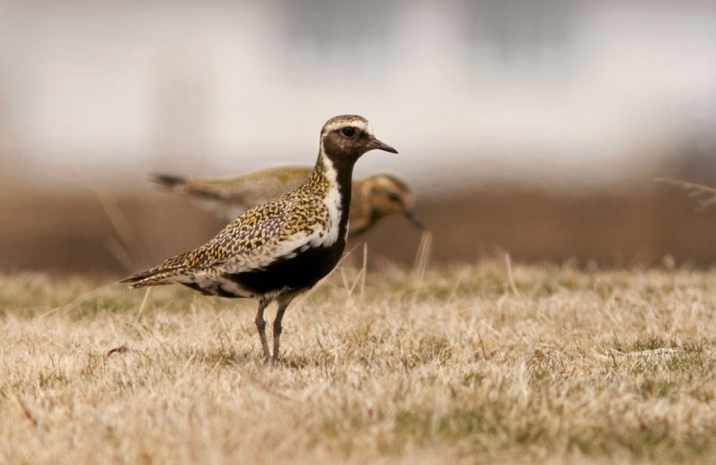 European Golden Plovers are rare but regular in Newfoundland, with at least one showing up most years. And that's just what we got this year ... one! (These individuals were photographed in 2014).