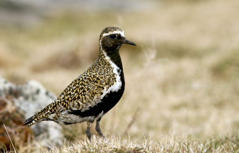European Golden Plover is one of the most expected Icelandic birds to show up in Newfoundland ... almost annual here, but almost unheard of anywhere else in North America. Last spring saw a huge invasion ... could these winds be bringing us a few more??
