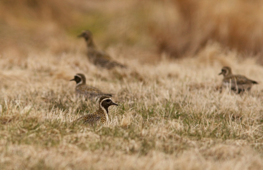 These European Golden Plovers, part of a flock of nine, were in an unassuming backyard at Old Perlican on the northern tip of the Avalon Peninsula.