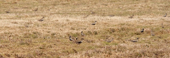 The largest single flock of European Golden Plovers occurred in Goulds (St. John's), where an initial handful of birds swelled to at least 90 in just a few days!
