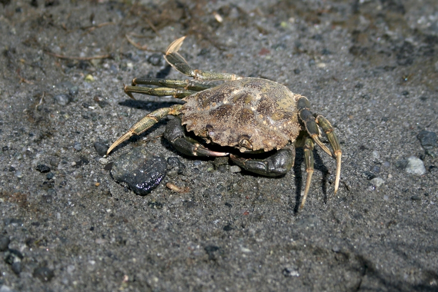 GreenCrab_GMNP_7364