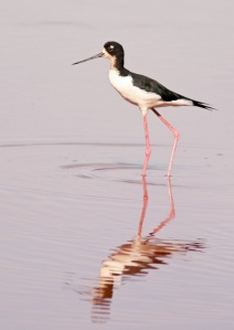 Hawaiian (Black-necked) Stilt is an endemic subspecies and exhibits more black in the head and neck than its mainland cousin.
