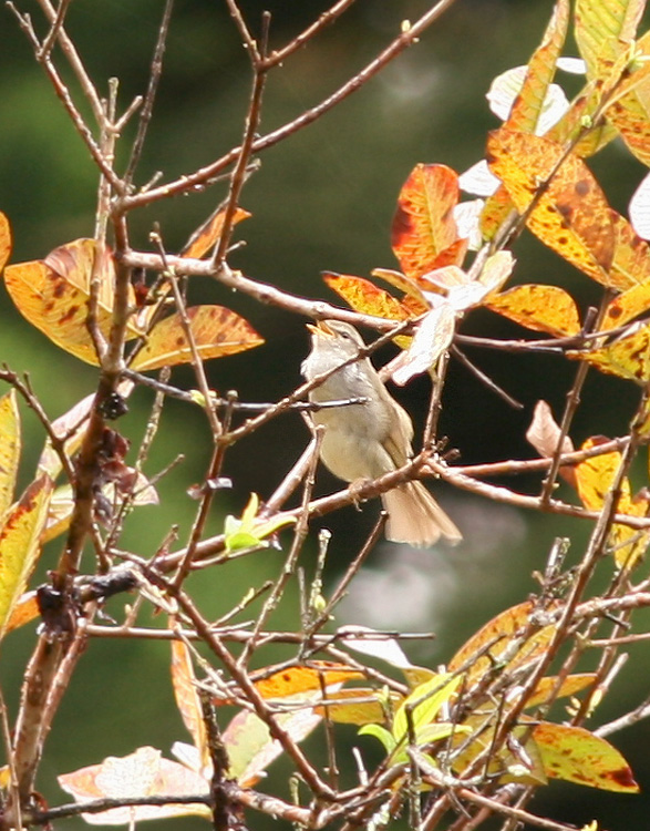 Japanese Bush Warbler, introduced in 1929, is very secretive and often hard to find in the thick understory. We were fortunate to see this one singing its distinctive song.