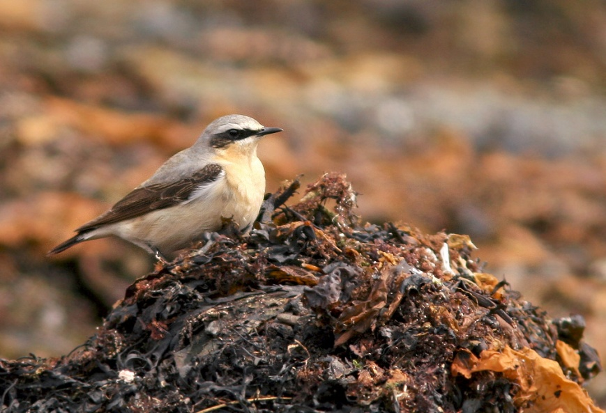 Northern Wheatears are rare but expected in Newfoundland most springs. However, these winds brought dozens of reports, likely of birds that would have been destined for breeding grounds in Iceland or Greenland rather than northern Labrador.
