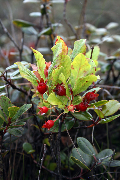 Another native plant, Ohelo is a member of the vaccinium family and related to plants like the blueberry and partridgeberry we know so well here in Newfoundland.