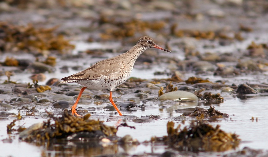 Redshank_May102014_9434