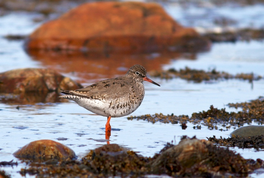 However, the real star of the Euro Inasion was a Common Redshank at Renews from May 3-13. Since it represented just the third record (and sixth individual) for both Newfoundland and North America, many birder came from near and far to see it. A second individual presnt at the same location on May 4 was chased off by the first and never seen again!