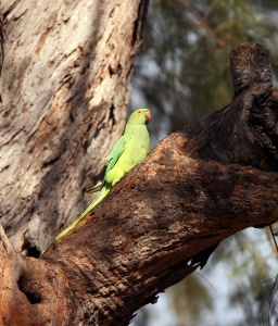 Rose-ringed Parakeets, which were introduced to the Hawaiian Islands as escaped cagebirds, are well established in some parts of Honolulu.