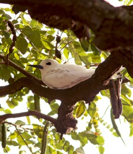 This White Tern chick, nearly ready to fledge, was found nestled on a branch in Kapiolani Park - one of only a few places where these stunning birds nest in Hawaii.