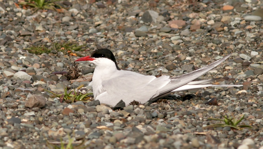 Arctic Tern have been nesting on the bach at St. Vincent's for a number of years now, allowing for unusually close encounters with these often shy birds.