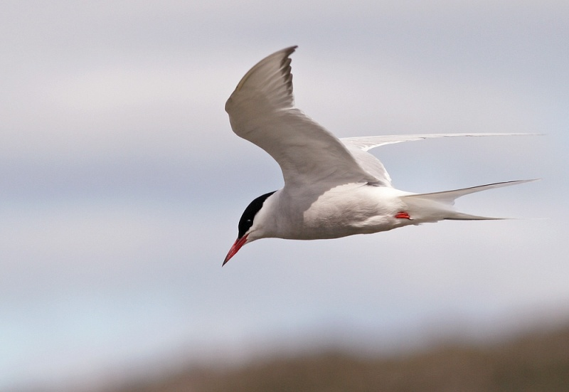 Arctic Terns don't usually arrive back in Newfoundland until May. Previous April records, including two seen today, are probably Icelandic birds which tend to migrate earlier.