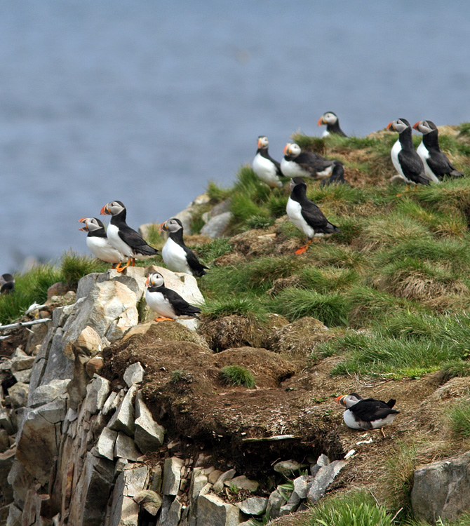 Soon, the famous Atlantic Puffin colonies along our coast will look like this again - alive and colourful.