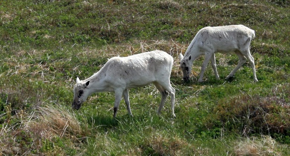 Following on this theme, North America's southernmost herd of Woodland Caribou can often be seen in this area, too.