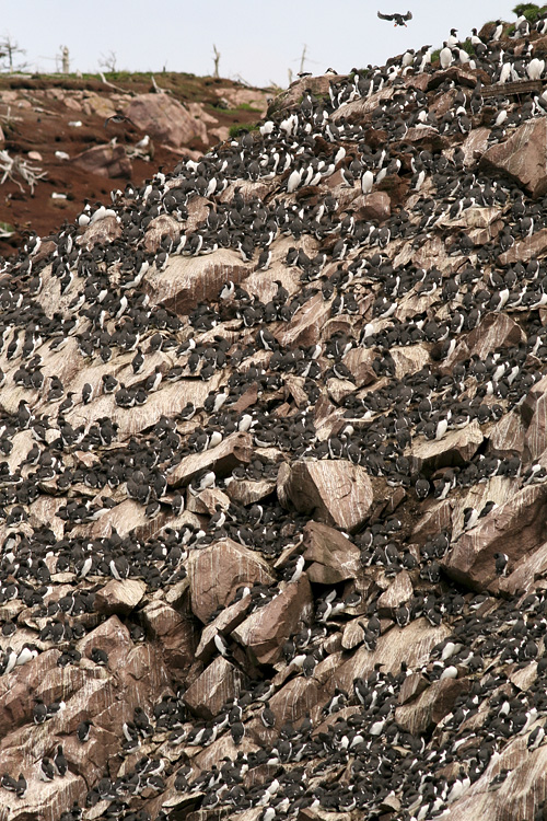 The massive colonies of Common Murre in Witless Bay Ecological Reserve are always awe-inspiring! (Wildland Tours/Adventure Canada/O'Brien's Boat Tours)
