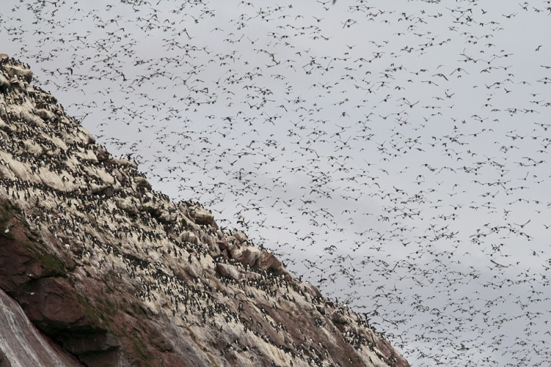 Real estate is hard to come by in the crowded murre colonies, and spring must be crazy as each pair establishes just a few inches space on a narrow cliff ledge!