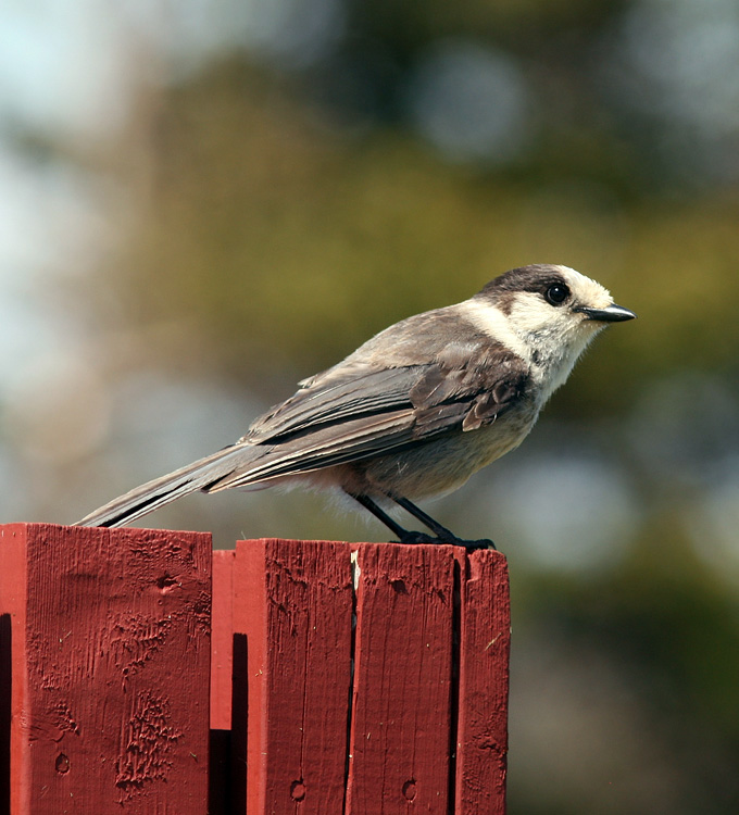 We enjoyed a visit by a pair of inquisitive Gray Jays while visiting Castle Hill.