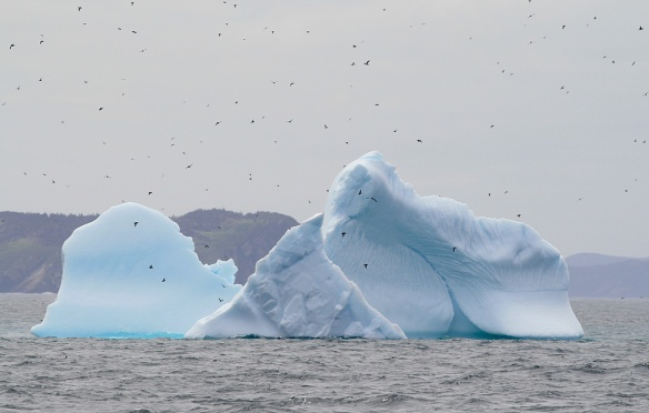 Icebergs have been everywhere this spring - including one we enjoyed right alongside the huge seabird colonies of Witless Bay Ecological Reserve (Wildland Tours/Adventure Canada/O'Briens Boat Tours)