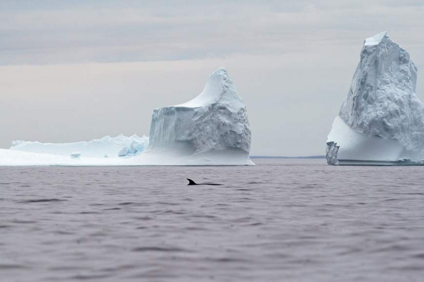 Sometimes, a whale or two even got in the way of the iceberg viewing  ;)