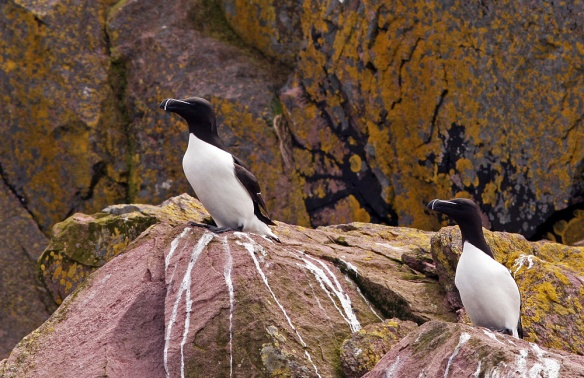 Razorbills, Witless Bay Ecological Reserve (Wildland Tours/Adventure Canada/O'Brien's Boat Tours)