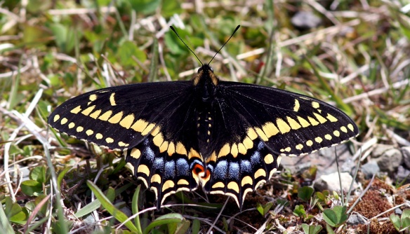 STSwallowtail_June17_1216