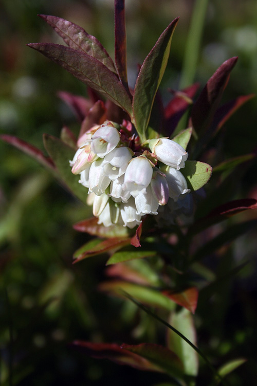 Berry season was still weeks away, but the blossoms were a good sign. These blueberry flowers were at Blackhead.