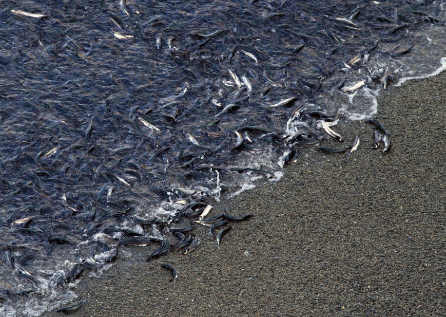 We also encountered our first caplin of the trip -- masses of them spawning and rolling on a beach as we watched from a cliff high above.
