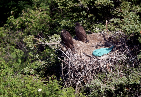 We also hiked from Signal Hill to the qualit Quidi Vidi village, stopping to enjoy some Bald Eagle chicks along the way.