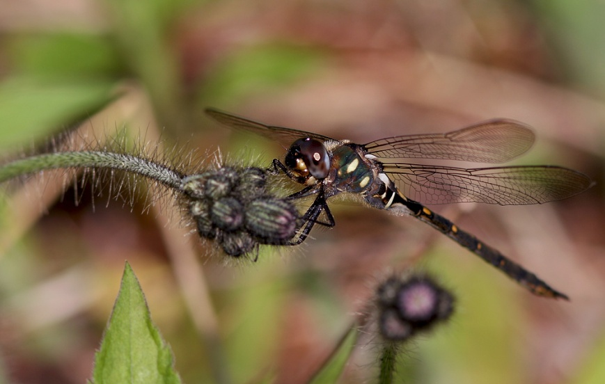 As well as some confiding dragonflies like this Forcipate Emerald (a new one for me) ...