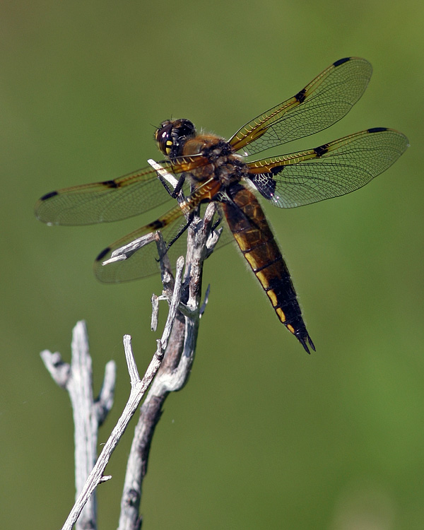and this Four-spotted Skimmer.